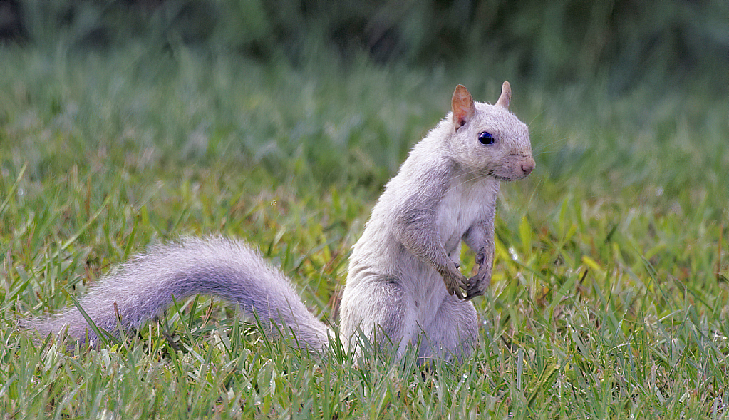 A Squirrel of a Different Color