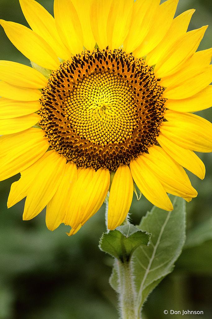 Stupendous Sunflower 7-20-20 059