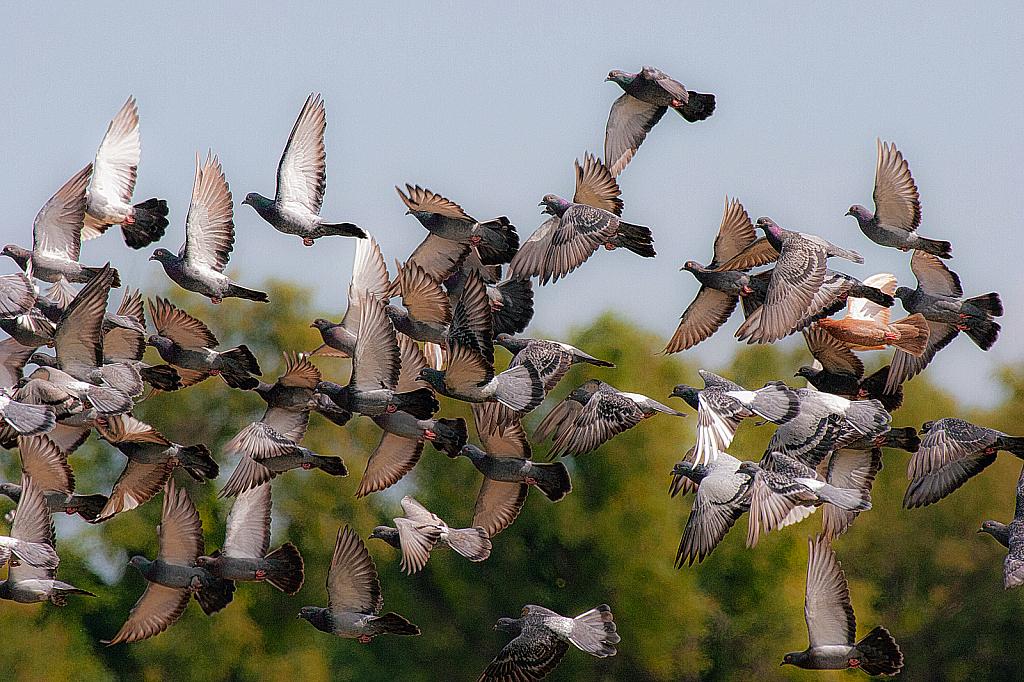A Flight of Doves