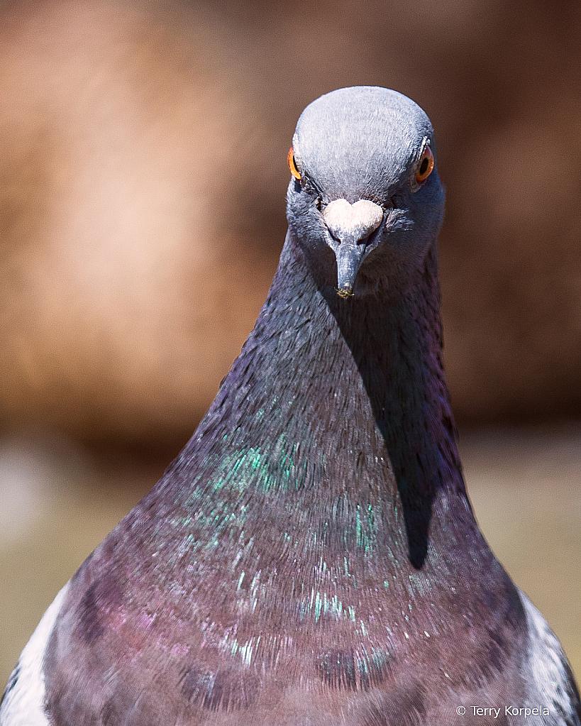 Rock Pigeon Portrait