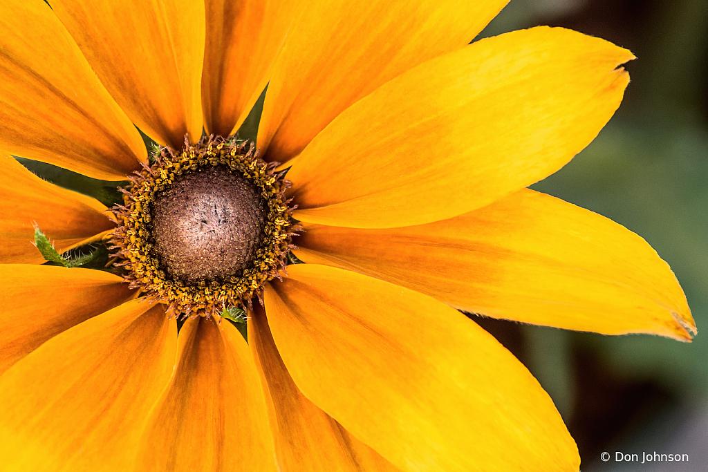 Butterscotch Daisy