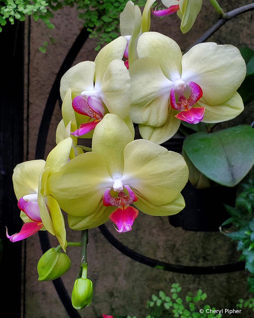 Yellow Orchids and Wrought Iron