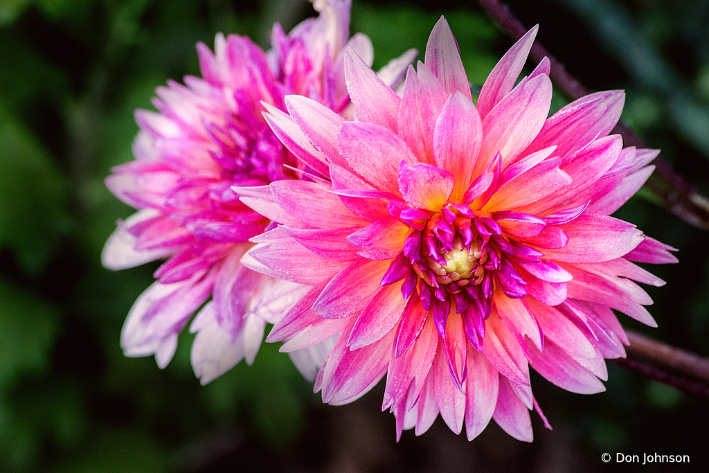 Pink Dahlia Brookside 9-20-20 027