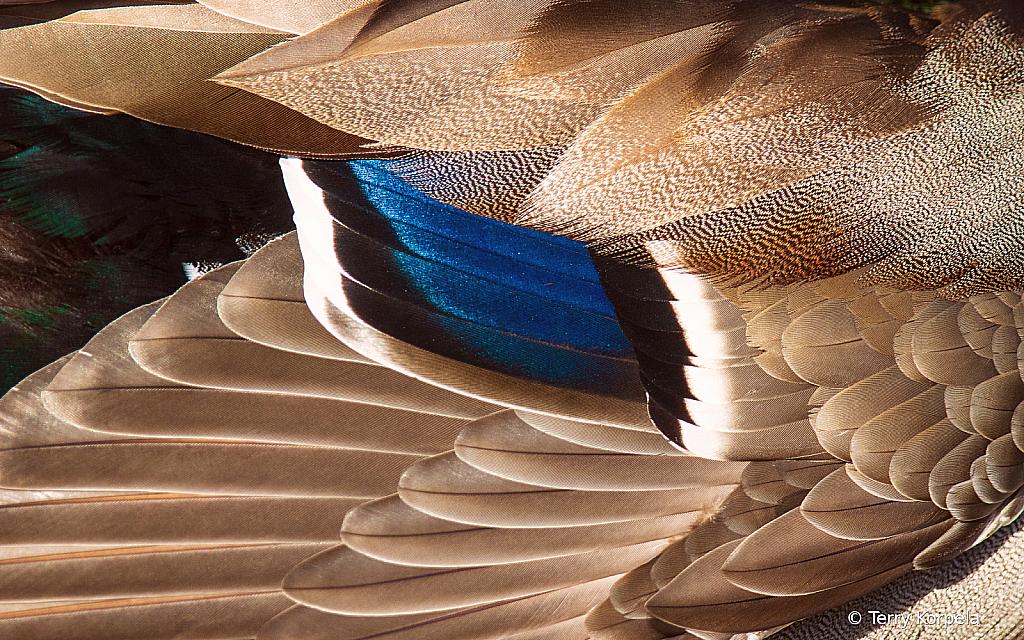 Close Up of a Male Mallards Wing