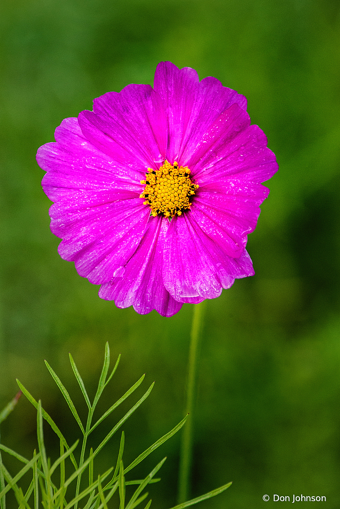 Purple Cosmos Flower 10-9-20 054