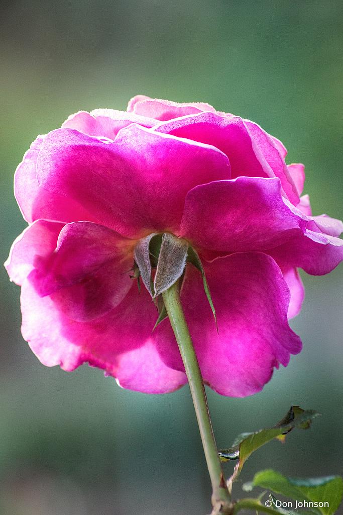 Back of a Lovely Rose 10-9-20 100