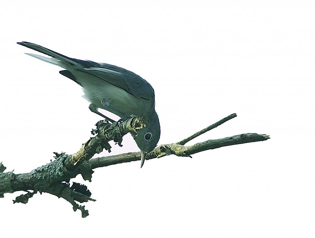 Bluegray Gnatcatcher