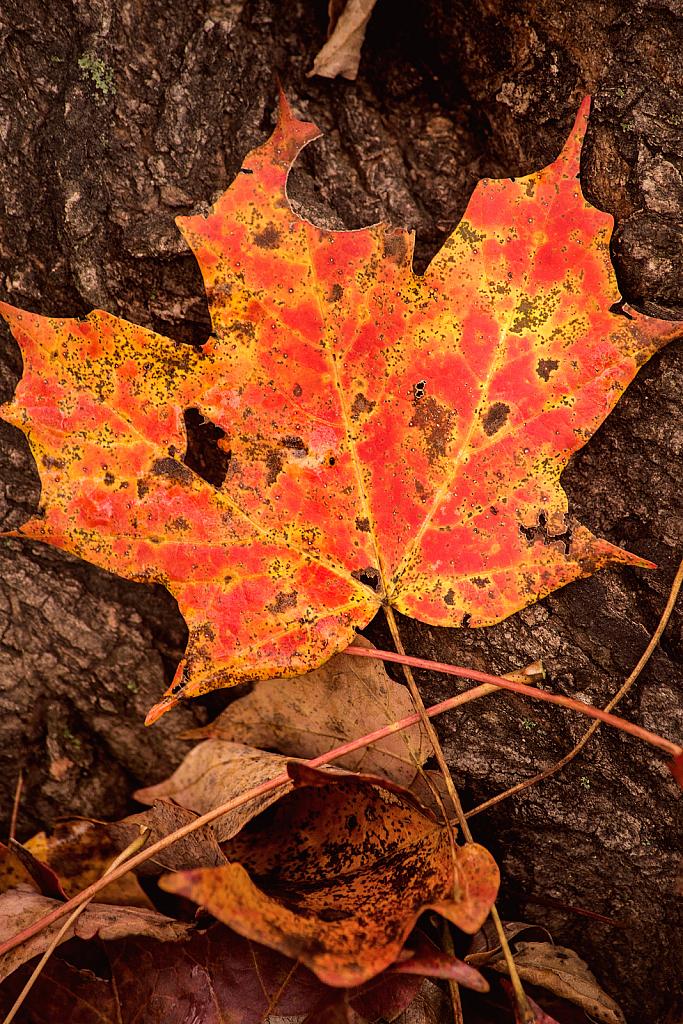 Fallen Fall Leaf 10-27-20 135