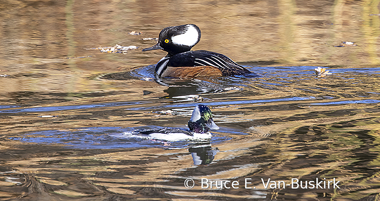 Hooded Merganser and Bufflehead