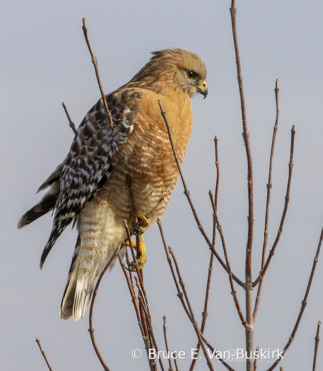 Red shouldered hawk full frame.