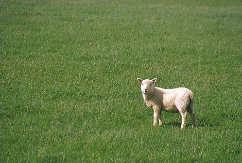 Little Lamb - ID: 909 © Jim Miotke