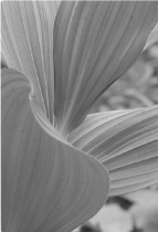 Corn Lilies - Black and White