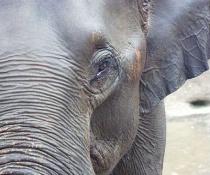 Orphan elephant at Pinnawella - Sri Lanka