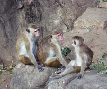 Monkey Family - Sri Lanka