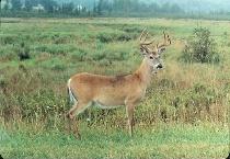 Buck in velvet