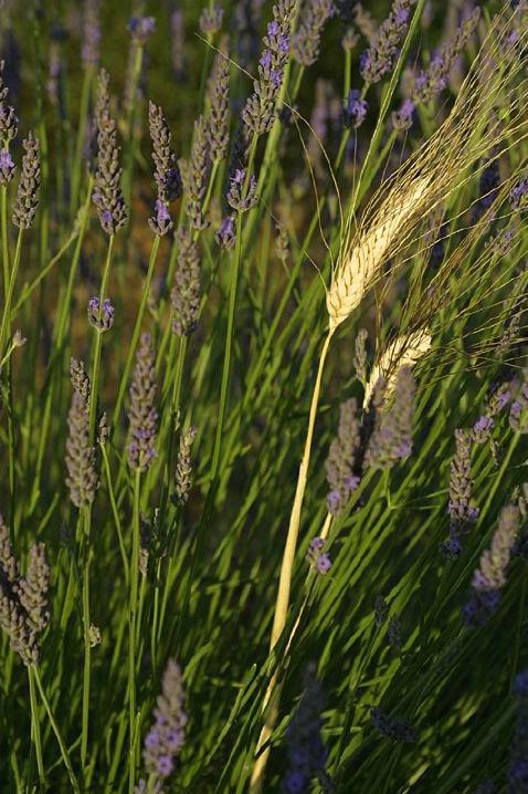 Wheat in Lavender