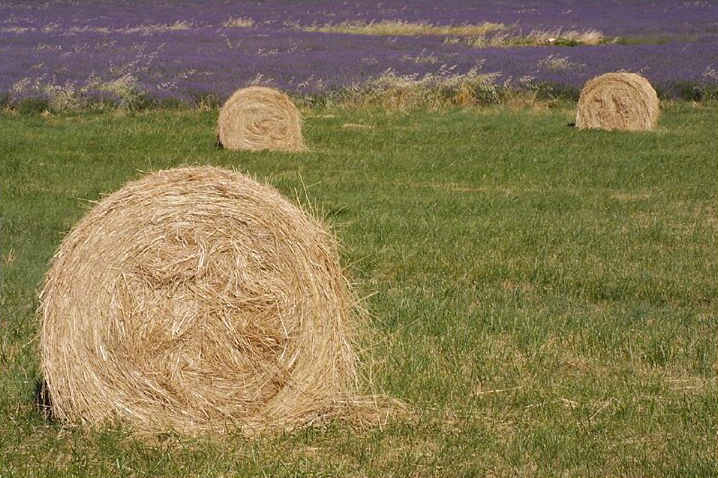 Hay with Lavender Field