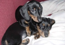 Baby Dachsies