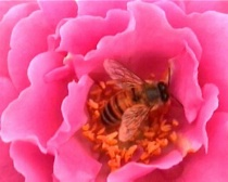 Pink Anemone bee