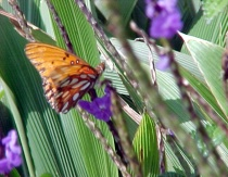 Butterfly in Hana