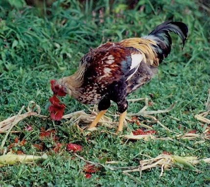 Young game rooster