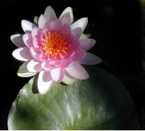 Lotus Pad