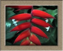 Helliconia species