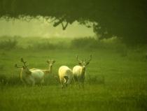 Mallow Deer