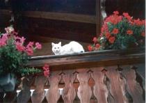 white cat on a balcony