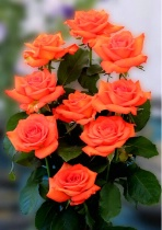 Posed Roses