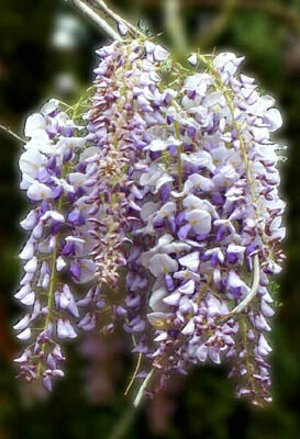 Whisteria Cluster