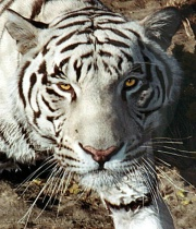 """Khan"", a white Bengal Tiger"