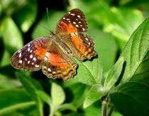 Sunning Butterfly
