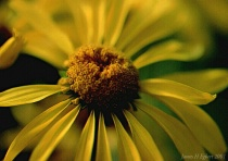 Everyday Common Sunflower