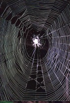 Backyard Spider