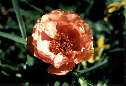 Peach Colored Dreams