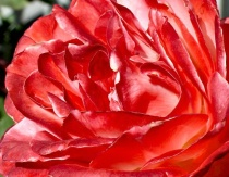 Sculptured  Rose