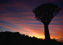 Quivertree Sunrise