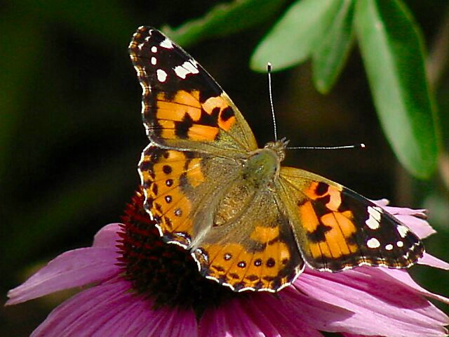 Painted Lady #2