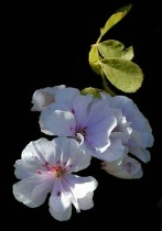 Geranium Flower & leaves