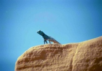 Reptile in Blue