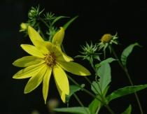 Artichoke Flower 'n Buds