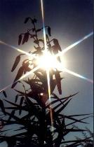 Sun Spot Lillies