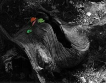 Burl & leaves 2