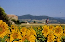 Cyclist & Sunflowers in Provence