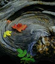 Burl & Fall Leaves