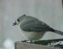 Tufted Titmouse at Feeder in Snowstorm