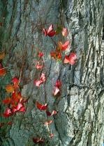 Fall Ivy on Tree