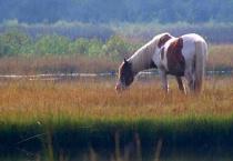Assateague Pony in Marsh