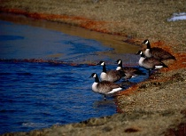 """""""Geese In A Row"""""""